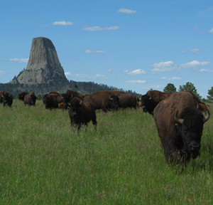 [Image: Wyoming-Bison-Devils-Tower.jpg]